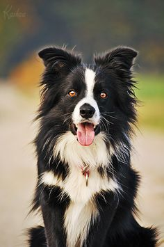 border collie I like border collies such a classic dog look, perfect with a vintage truck, blue jeans and cowboy boots