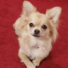 Chihuahua Langhåre #chihuahua Langhåret
