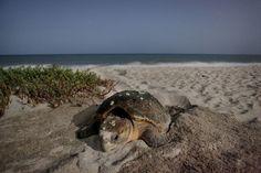 Sea turtle nest in Vero Beach, FL