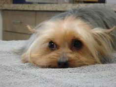 Rikki is an adoptable Yorkshire Terrier Yorkie Dog in Ottawa, KS. Rikki came from a puppy mill breeder. He has a great personality and did great for his groom. Thank you to a wonderful volunteer, she ...