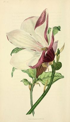 "Purple magnolia tree, Magnolia purpurea. Handcoloured botanical illustration drawn and engraved by William Clark from Richard Morris's ""Flora Conspicua"" London, Longman, Rees, 1826. William Clark was former draughtsman to the London Horticultural Society and illustrated many botanical books in the 1820s and 1830s"