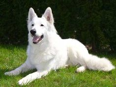 berger blanc suisse #germanshepardpuppywhite