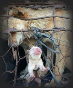 This baby was born in China in one of the livestock lorries heading to the slaughter house where Dogs are destined for human consumption. STOP this and sign all the petitions to close all the dog meat industries worldwide.. Pls. make sure to sign all the petitions via this link : http://www.pinterest.com/sallygoodall/anti-dog-meat-trade-petitions/ Photo shared via Santuario Guaia: https://www.facebook.com/photo.php?fbid=622560157794524&set=a.548136731903534.1073741827.449817305068811&type=1