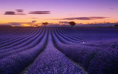 Stunning Pictures of Lavender Fields