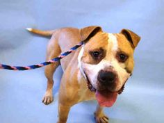 THIS POOR BOY WAS RETURNED AFTER 1 DAY!! SUPER URGENT Manhattan Center ANDREW – A1102699 **RETURNED AFTER 1 DAY 02/08/2017, SAFER: EXPERIENCED HOME** NEUTERED MALE, TAN / WHITE, AMER BULLDOG / AM PIT BULL TER, 2 yrs RETURN – AVAILABLE, HOLD RELEASED Reason NO TIME Intake condition EXAM REQ Intake Date 02/08/2017, From OUT OF NYC, DueOut Date 02/08/2017,
