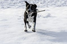 Dog running with his stick