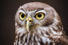 Barking Owl at Healesville Sanctuary