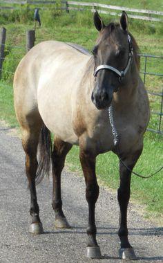 Mare – Obviously a Dun | TL Quarter Horses