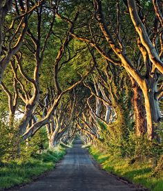 The Dark Hedges in Armoy, Co Antrim is a unique stretch of the Bregagh Road in Ireland, that looks like something from a Tim Burton movie and was used in The Game of Thrones during an episode were the covered up the tarmac. The Places Youll Go, Places To See, Unique Trees, Voyage Europe, Great Pictures, Hedges, The Great Outdoors, Beautiful Places, Scenery