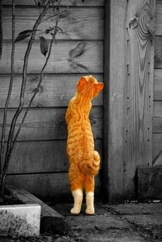 Contemplation of an orange cat