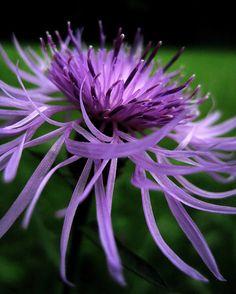**Centaurea jacaea