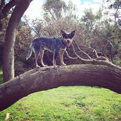#tree #dog #kelpie
