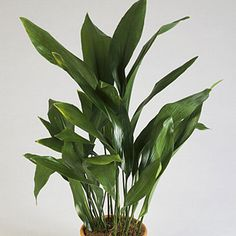 The cast-iron plant lives up to its name as one of the sturdiest and most carefree of all houseplants. It also makes it onto Sunset's 10 indestructible houseplants list. Click in to see the plants that will help add life to your home décor.