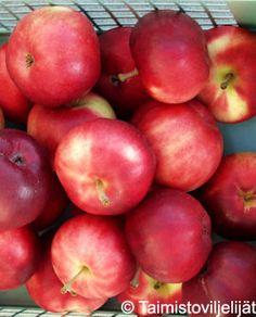 Petteri omena kääpiöpuussa