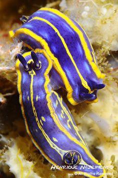 Felimare fontadraui (nudibranch) Sesimbra - Portugal