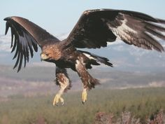 Golden Eagle Bird Picture Gallery                                                                                                                                                      More