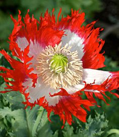 Flower 'Danebrog' Poppy Papaver Gmo Free Seeds. From Gorgeous Seeds Gmo Free on Etsy.