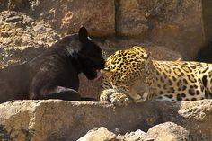 Google Image Result for http://www.examiner.com/images/blog/EXID19876/images/Jacksonville_Jaguars_Zoo.jpg