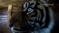 Getting Close To A Sumatran Tiger