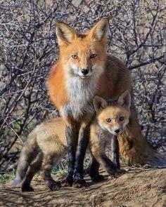 Moeder vos