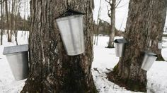A Federation of Quebec Maple Syrup Producers report indicates that by 2018, Quebec's market share is expected to drop to 63 per cent while U.S. sales are being tapped to reach 29 per cent. (Christinne Muschi For The Globe and Mail)