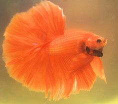 royal orange OHM Beta Beta, Beta Fish, Pretty Fish, Beautiful Fish, Colorful Fish, Tropical Fish, Poisson Combatant, Betta Fish Types, Fish Garden