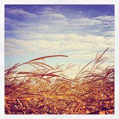 """Weekend walk... through a corn field in the prairies. Roblin, Manitoba. Photo by ohdannyboy_85"