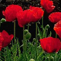 Papaver 'Beauty of Livermere'