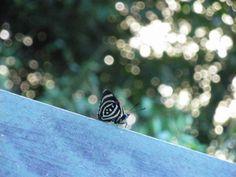 Butterfly in Iguassu Falls Brazil Cafe Rio, Places To Go, Butterfly, Rio De Janeiro, Bowties, Butterflies