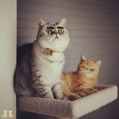 When you think yo brow game on fleek but it ain't.  #exoticshorthair #cat #cute #flatface #meow #mreggs #catlover #exoticsofinstagram #smushface #buzzfeedcats #brow #browgame #browgamestrong