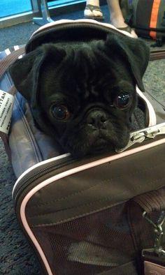 traveling pug!