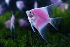 Pink Fish Picture from Tropical Fish/Underwater Sea Life.