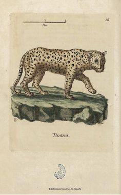 Pantera - Coleccion de laminas que representan los animales y monstruos del Real Gabinete de Historia Natural de Madrid, con una descripcion individual de cada uno. Bru de Ramón, Juan Bautista — Libro — 1784-1786