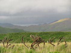 Kodiak Deer hiding in the tall plains. Photo by: Jerney Simkowski