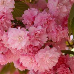 Cerisier du japon 'Kanzan' Plantation, Beautiful Flowers, Rose, Spring, Plants, Secret Santa, Magazine, Tattoo, Google