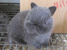 Baby Netherland Dwarf bunny...
