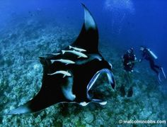 Manta Ray. Still one of the most beautiful things I've ever seen.