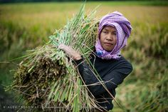 Rice harvesting, Imphal, Manipur, Northeast States, India