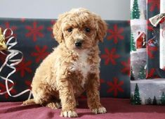 Buy Cheap Goldendoodle Puppies for Sale near me Free Puppies For Sale, Cheap Puppies For Sale, Puppies Near Me, Puppies And Kitties, Baby Puppies, Cute Puppies, Doggies, Goldendoodles For Sale, Chiweenie Puppies