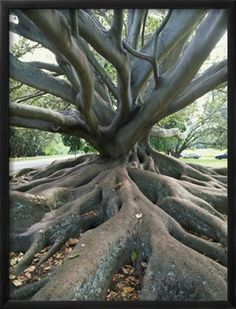 https://www.art.com/products/p604315270-sa-i4024662/jeremy-bright-trunk-and-roots-of-a-tree-in-domain-park-auckland-north-island-new-zealand-pacific.htm