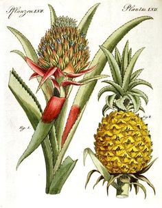 Olímpia Reis Resque: Ananases em grande quantidade