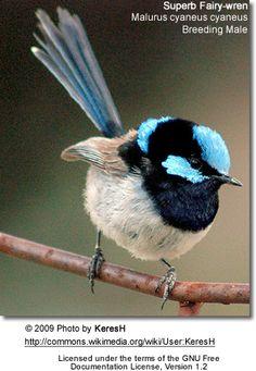 The Fairy Wren-No Negative Comment. Tiny Bird, Small Birds, Little Birds, Colorful Birds, Exotic Birds, Most Beautiful Birds, Pretty Birds, Beautiful Creatures, Animals Beautiful
