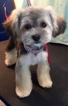 Image result for morkie haircuts pictures