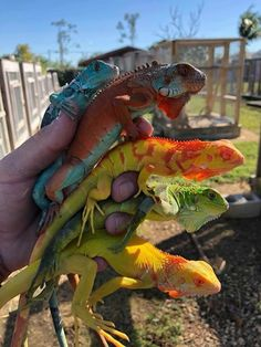 Tom Crutchfield Reptiles iguanas