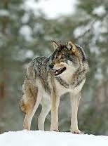 Kuvahaun tulos haulle suden pesä Wolves, Husky, Dogs, Animals, Animales, Animaux, Wolf, Pet Dogs, Doggies
