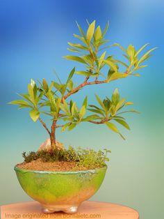 Bonsai de uma árvore de Gardênia.  Fotografia: https://www.etsy.com