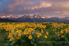 Balsamroot wildflowers bloom below the Teton Mountains during a colorful sunrise in Grand Teton National Park, Wyoming.
