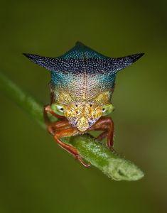 Nassunia sp.  Treehopper, Equador