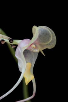 Miniature-orchid / Micro-orquidea: Flower of Porroglossum species in side-view - Flickr - Photo Sharing!