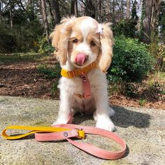 Harness and leash by: @ haikyuu animals majestic anima. Harness and leash by: Super Cute Animals, Cute Funny Animals, Cute Baby Animals, Animals And Pets, Animals Amazing, Cute Dogs And Puppies, I Love Dogs, Doggies, Cockerspaniel